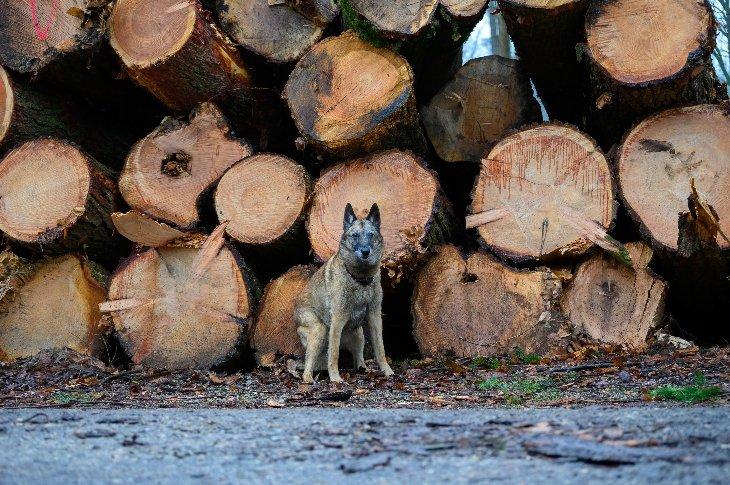 Een hondje in domein De Inslag voor de gekapte boomstammen.