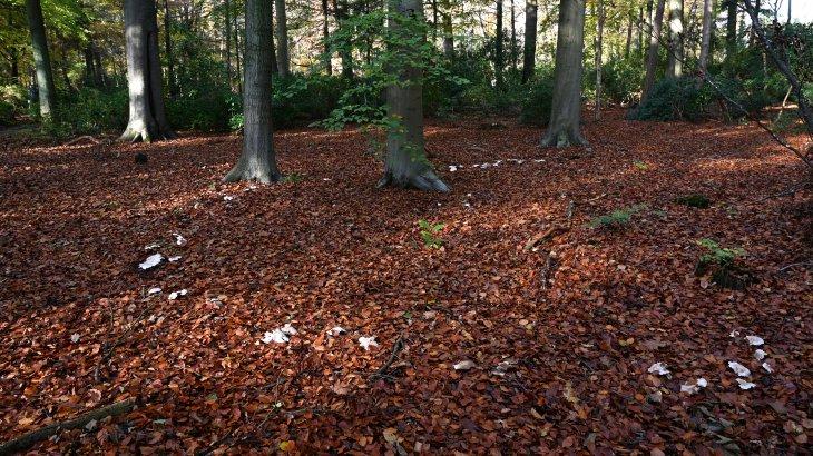 Heksenkring of elfenkring in park De Mik.